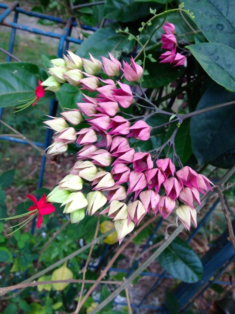 beautiful flowering bush in our neighborhood in Indonesia